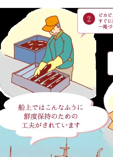 2.ピカピカの茶色のいかはすぐに波形トレーに一尾づつ並べ船内で急速冷凍